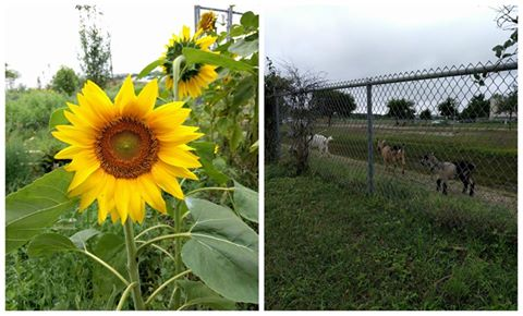 One school where I worked had goats and sunflowers. :) I like that school.