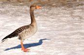 goose-3190744_1280-1170x771