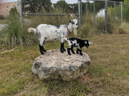 Baby Goat on Rock